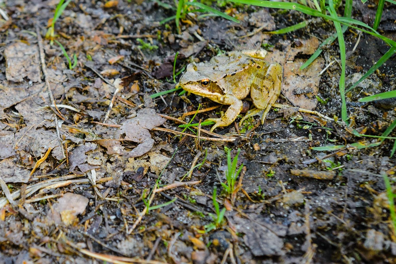 Frosch - Morgenspaziergang im Frohnsdorfer Wald, (Foto copyright - Frank Weber - Berlin - fotologbuch.de)
