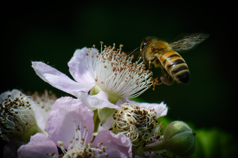 Bienen im Garten, (Foto copyright - Frank Weber - Berlin - www.fotologbuch.de)