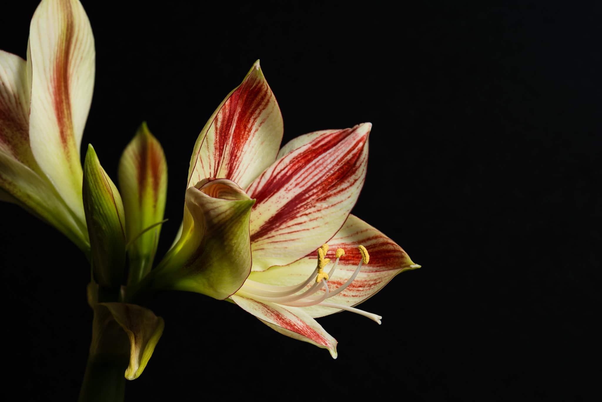 Einmal Blumen Fotos mit Blitz, Makroobjektiv und Co., (Foto copyright - Frank Weber - Berlin - fotologbuch.de)