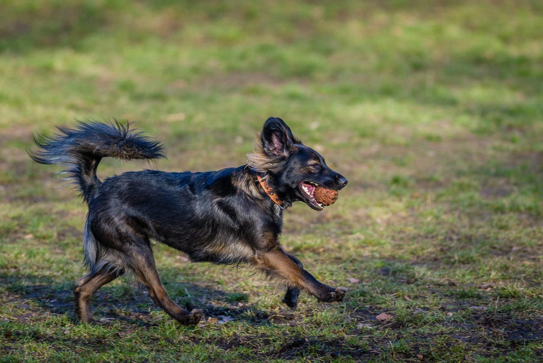 Nikon 300mm 2.8G VR 2 und Nikon 800 - Spielender Hund im Park, (Foto copyright - Frank Weber - Berlin - fotologbuch.de)