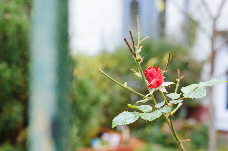 Rose mit Kitobjektiv - Blende 5.6, (Foto copyright - Frank Weber - Berlin - fotologbuch.de)