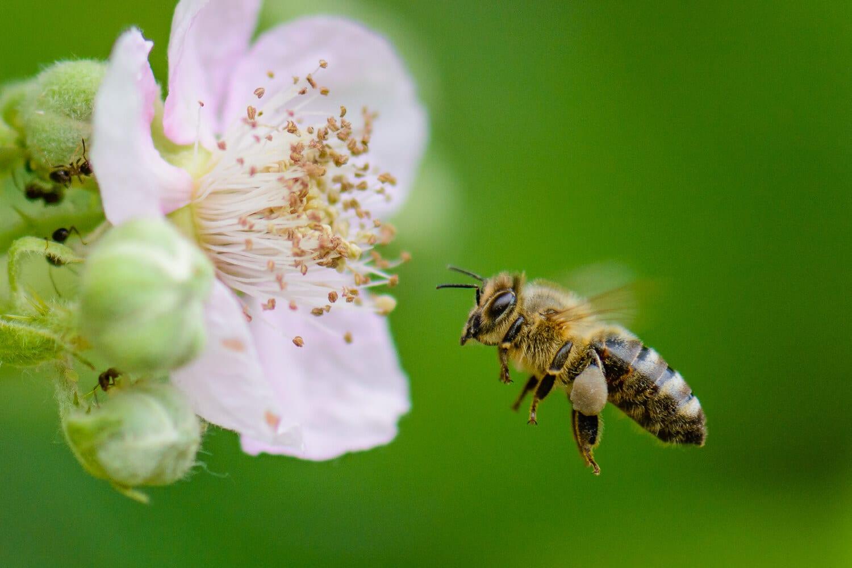 Biene im Anflug auf eine Blüte - Jetzt einen Fotokurs Tierfotografie in Berlin buchen, (Foto copyright - Frank Weber - Berlin - fotologbuch.de)