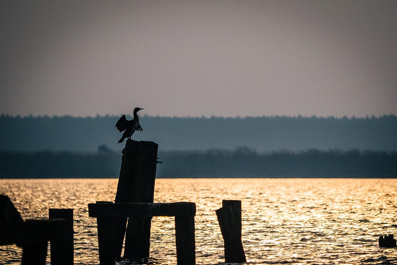 Kormoran bei Sonnenaufgang auf dem Dänholm in Stralsund, (Foto copyright - Frank Weber - Berlin - fotologbuch.de)