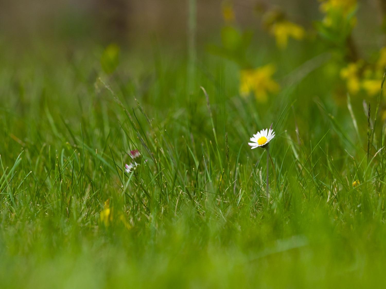 Wie fotografiere ich Blumen - Brennweite 150mm, (Foto copyright - Frank Weber - Berlin - fotologbuch.de)