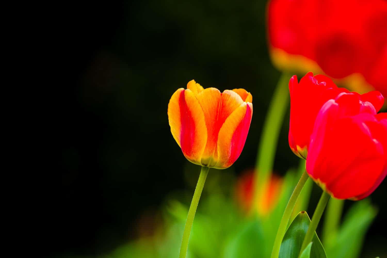 Wie fotografiere ich Blumen - Tulpe, (Foto copyright - Frank Weber - Berlin - fotologbuch.de)