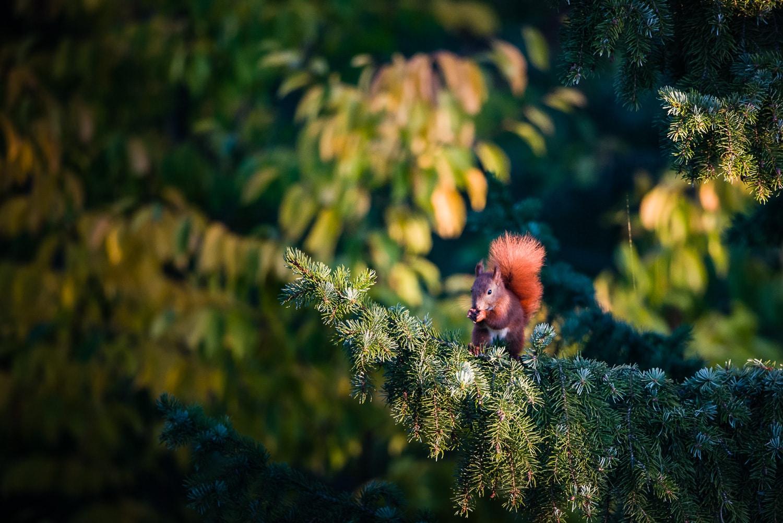 Eichhörnchen, ohne Ausschnitt (Crop), (Foto copyright - Frank Weber - Berlin - fotologbuch.de)