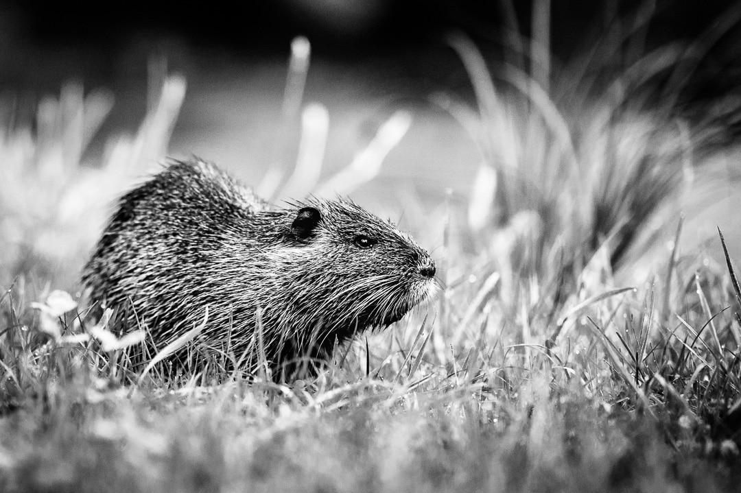 Nutrias - fotografiert am Morgen in freier Natur, (Foto copyright - Frank Weber - Berlin - fotologbuch.de)