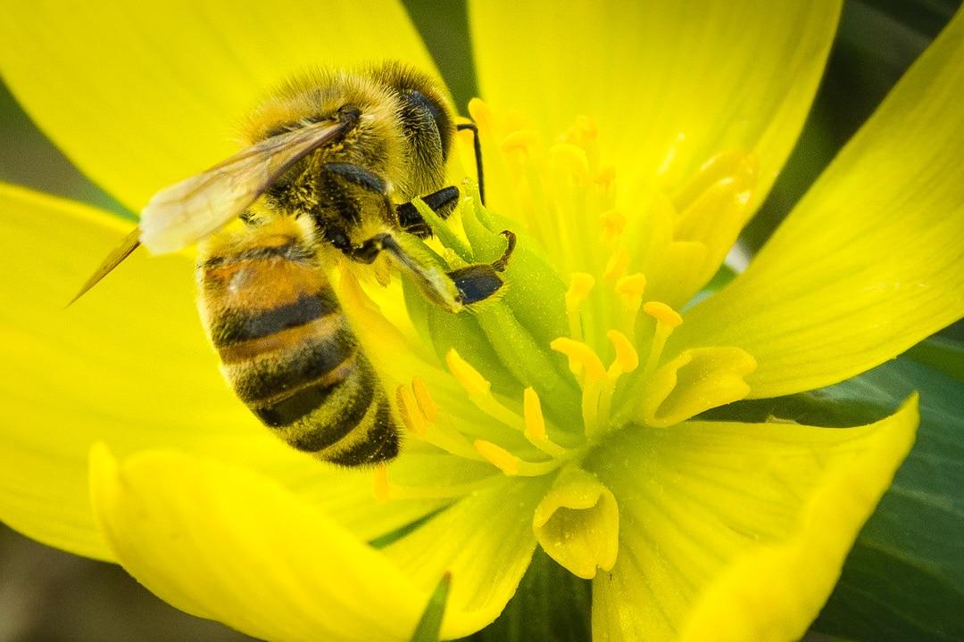 Biene auf ein Blüte - Nahaufnahme, (Foto copyright - Frank Weber - Berlin - fotologbuch.de)