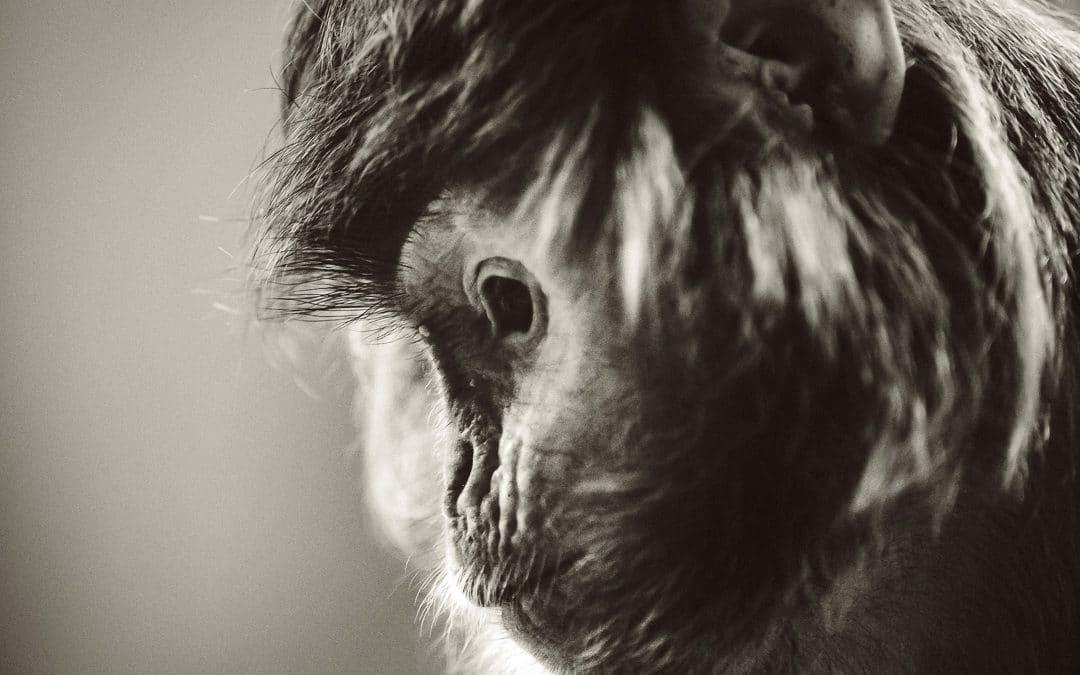 Trauriges Gesicht eines Affen Foto in schwarzweiß