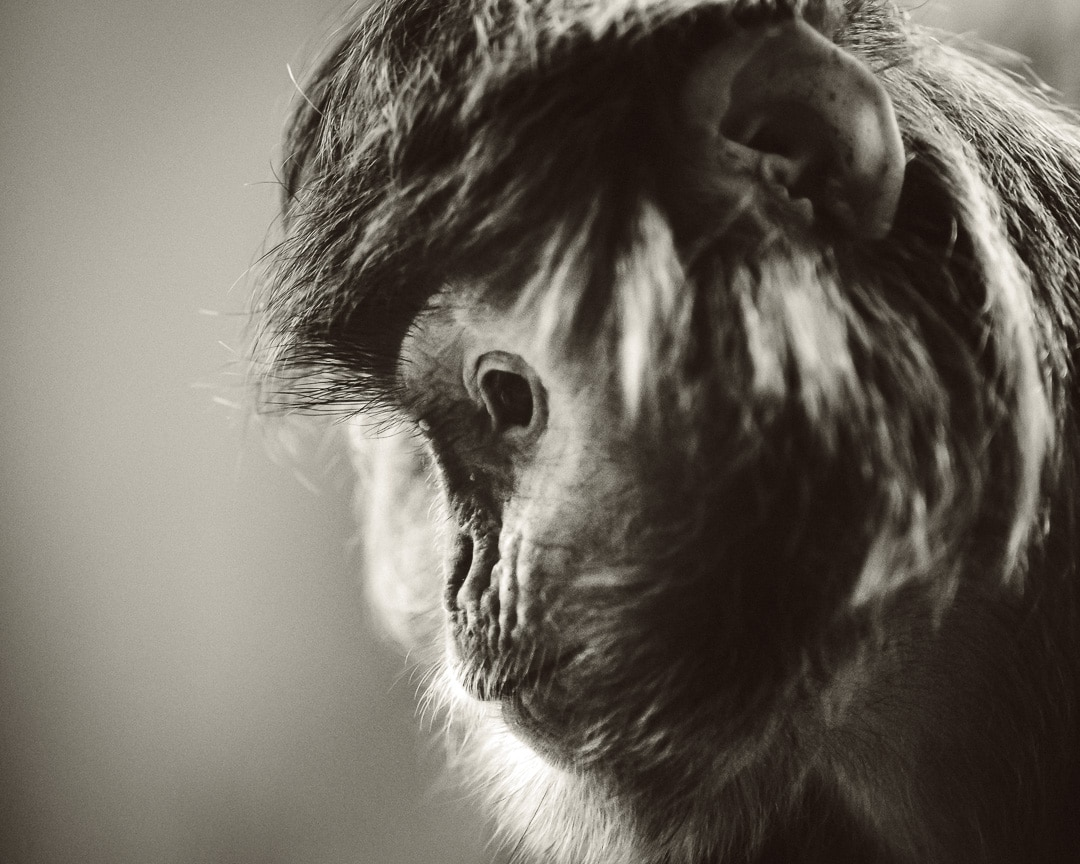 Trauriges Gesicht eines Affen in schwarzweiß, (Foto copyright - Frank Weber - Berlin - fotologbuch.de)