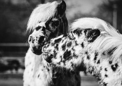 Pferdefreundschaft zwischen zwei Ponys – Foto in schwarzweiß