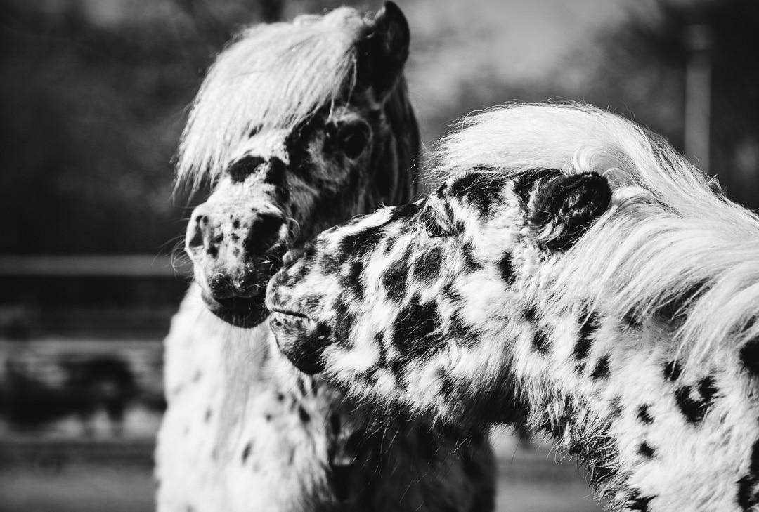 Pferdefreundschaft zwischen zwei Ponys - Foto in schwarzweiß, (Foto copyright - Frank Weber - Berlin - fotologbuch.de)