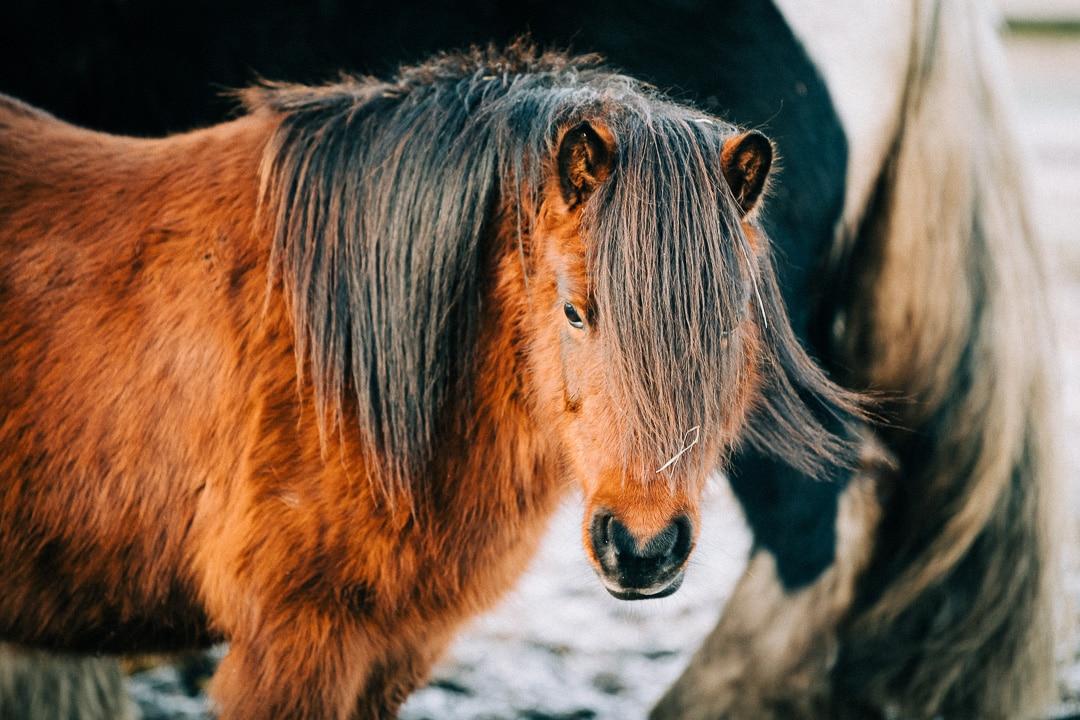 Kleines Pony auf der Koppel ganz nah