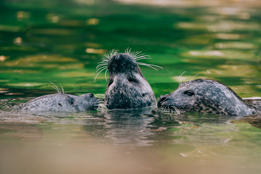 Robben und Seehunde im Zoo Berlin, (Foto copyright - Frank Weber - Berlin - fotologbuch.de)