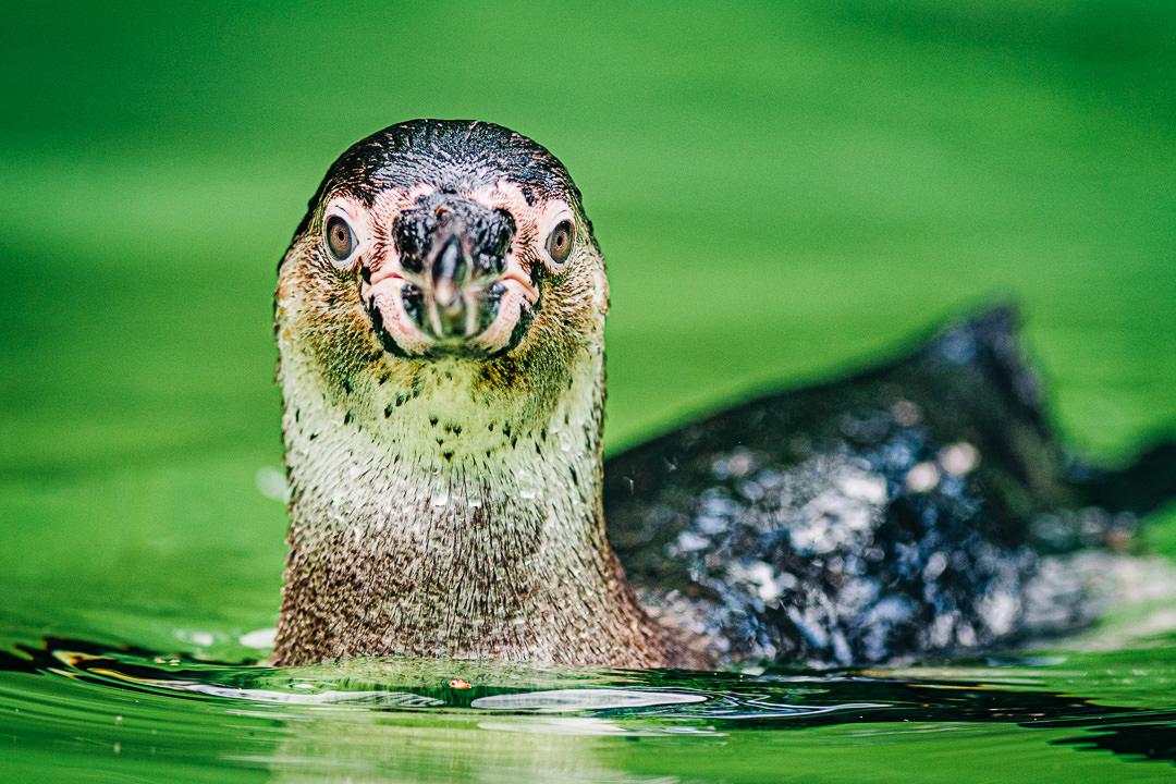 Pinguin , Nahaufnahme, (Foto copyright - Frank Weber - Berlin - fotologbuch.de)