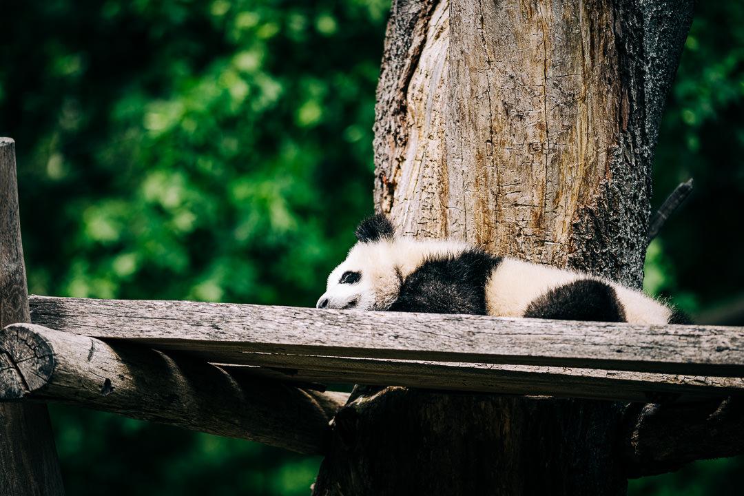 Junger Panda, (Foto copyright - Frank Weber - Berlin - fotologbuch.de)