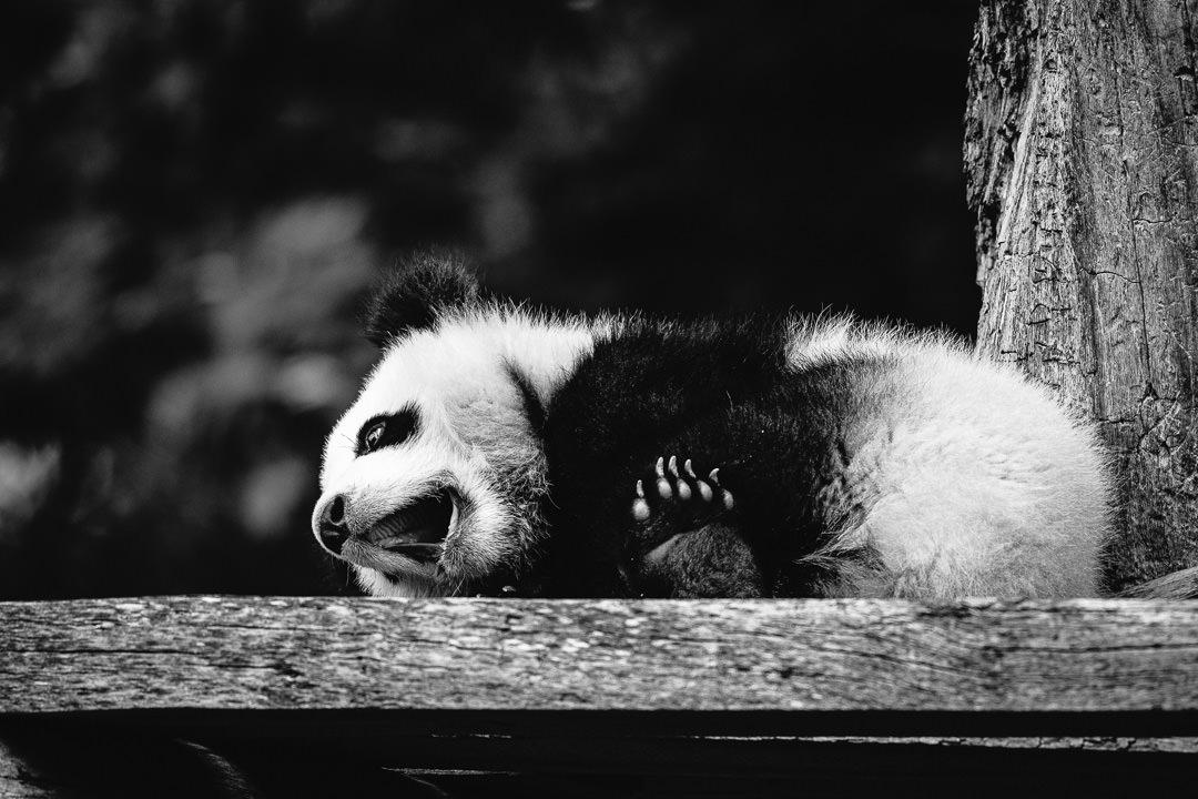 Junger Panda - Foto in schwarzweiß, (Foto copyright - Frank Weber - Berlin - fotologbuch.de)