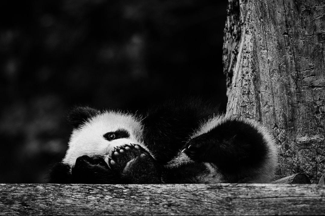 Eine kleine Fotosession mit einem kleinen Panda