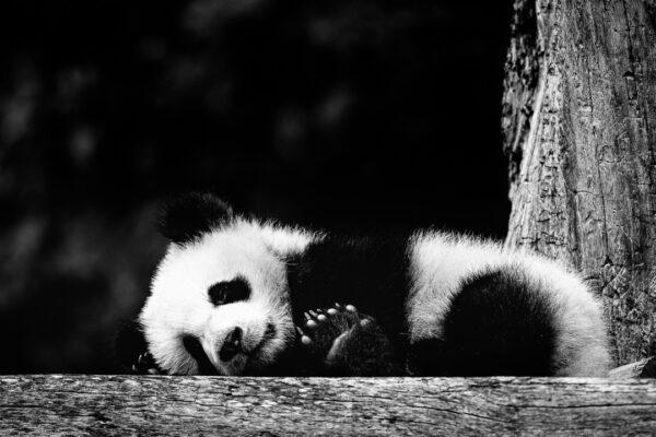 Eine kleine Fotosession mit einem kleinen Panda, (Foto copyright - Frank Weber - Berlin - fotologbuch.de)
