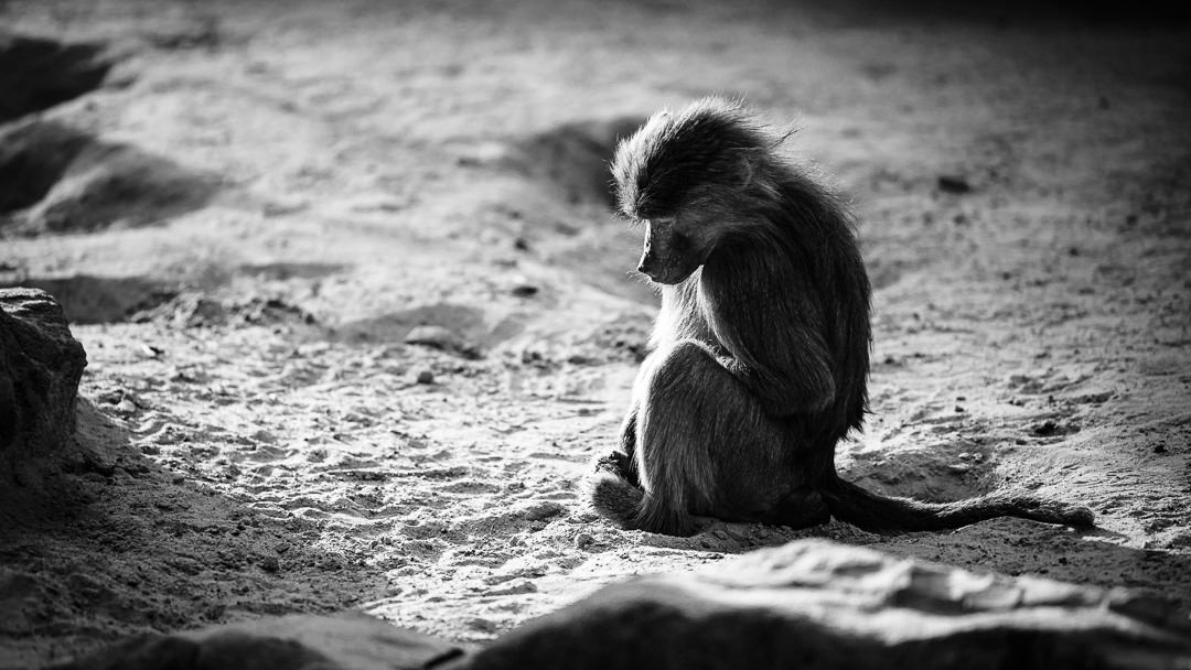 Die Affenbande unterwegs – ein paar Fotos von Affen, (Foto copyright - Frank Weber - Berlin - fotologbuch.de)