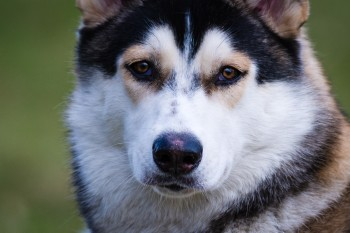 Husky - Tiefenschärfe